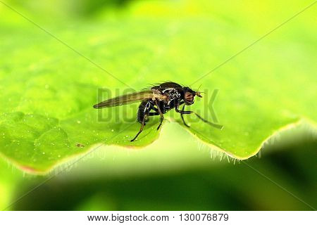 House-fly macro shooting on a green leaf
