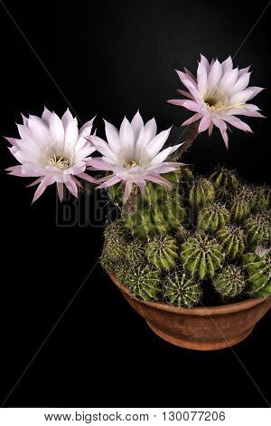 a vase with flowering cactus on a black background