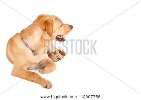 Labrador Retriever, 11 Months Old