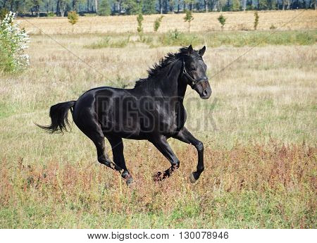 A young black stallion gallops on meadow