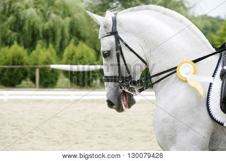 First Prize Winner Dressage Horse Galloping With Her Rosette Badge