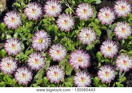 Bellis perennis Pomponette flowers in a flower bed