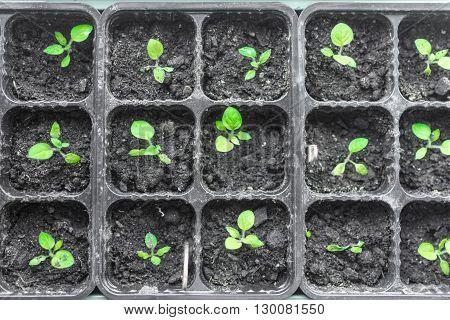 Seedlings in the spring on the terrace. Flower seedling. Sunflower seedlings