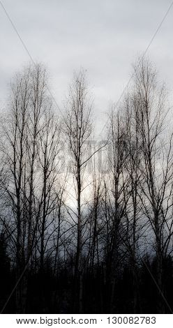 Bare trees reach against the darkness of the forest into a grey against
