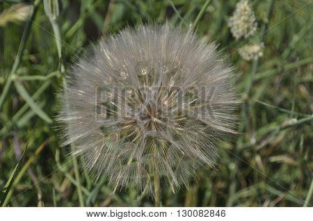 dandelion on a background of green grass close-up