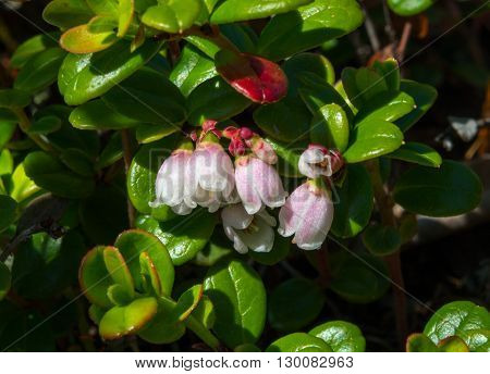 White edges the pink petals of a blooming low bush cran berry flower