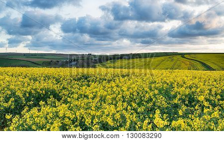 Dramatic Skies Over Rapeseed Fields