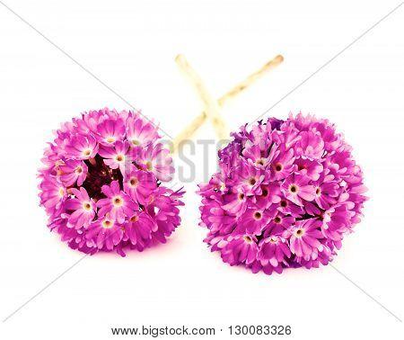 Purple Flower Primrose on a Light Background