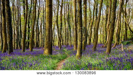 Cornish Bluebell Woods