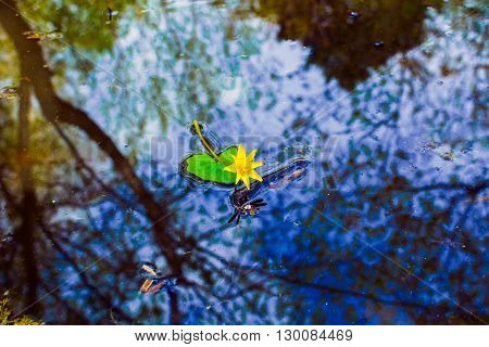 water plant with reflection in a pond, flower in water reflecte in a serenity pool