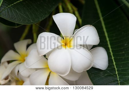 Close-up detail of multiple blooming Frangipani flowers