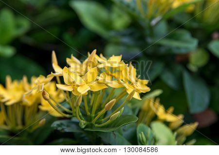 Closeup of a cluster of yellow needle flowers