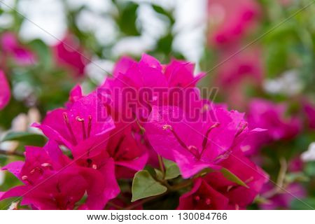 Close-up detail of deep pink Bougainvillea flowers