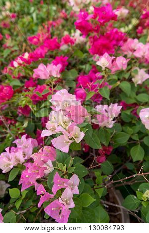 WIde-angle shot of a group of pink-shaded Bougainvillea flowers