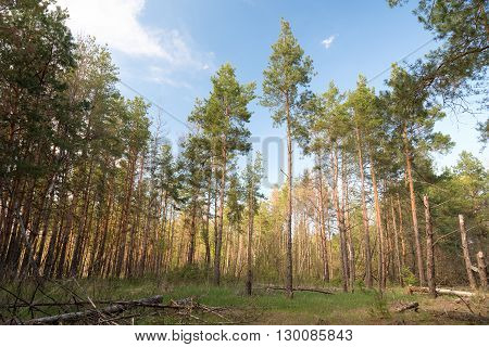 A small glade in a pine forest on a Sunny day.