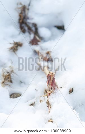 Carrion Of Dead Animal In Snow