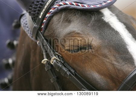 Braided mane jumping horse concentrating before the race