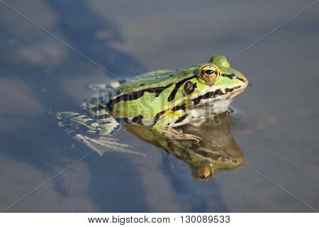Edible green frog in the shallow water of lake.