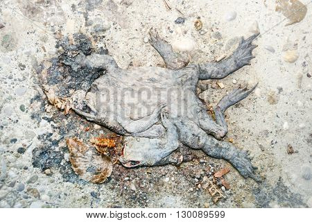 Carrion Of Dead Frog