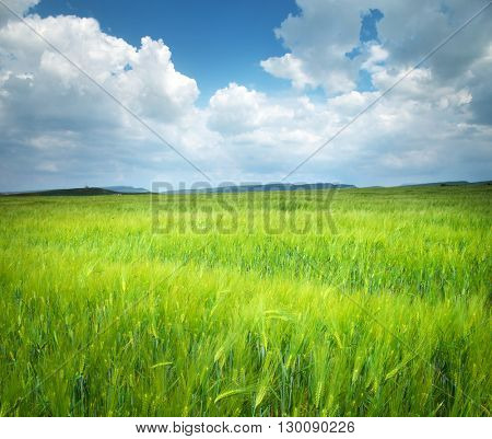 Meadow of wheat. Nature composition.