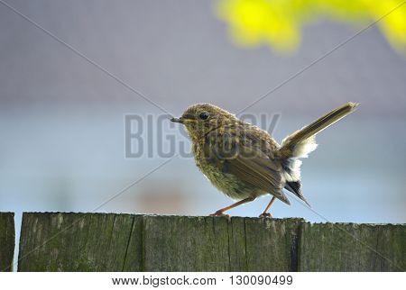 Juvenile Robin sat on fence recently fledged.