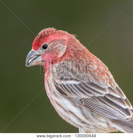 A male House Finch. Taken in Kentucky.