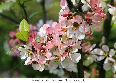 Closeup of beautiful flowers of spring bloom tree