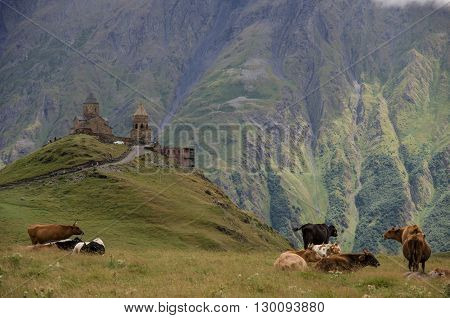 Cows On The Meadow Near Tsminda Sameba / Holy Trinity Church. Kazbegi-gergeti Village, Georgia.europ