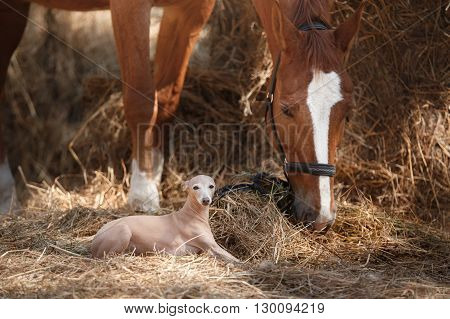 Horse on nature. Portrait of a horse brown horse horse stands in the paddock and dog breed Italian greyhound