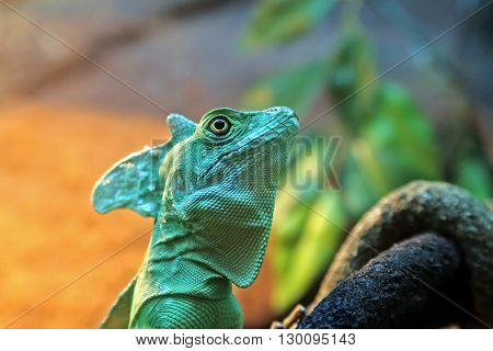 the a portrait lizard basiliscus plumifrons closeup