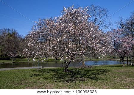 A cherry blossom tree at the Duck Pond in New Jersey