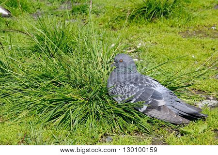 Ruffled pigeon is sitting on the grass, Murmansk, Russia