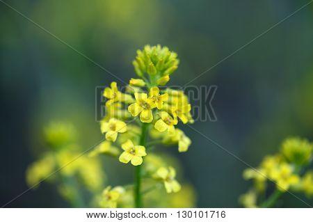 Macro photo of rapeseed flowers Brassica napus