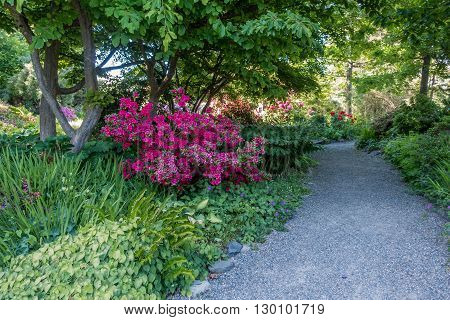 Red Azaleas brighten up the scenery near a walking path in Seatac Washington.