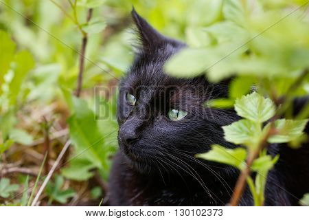 Black domestic cat in nature enjoying freedom on a lookout prowling for mice. Wild pet superstition animal freedom and rights animal cruelty concept.