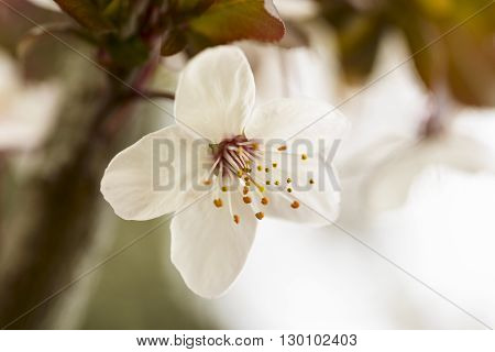 macro pistils of white spring flower in nature