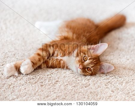 Domestic red Maine Coon kitten posing on white background fur