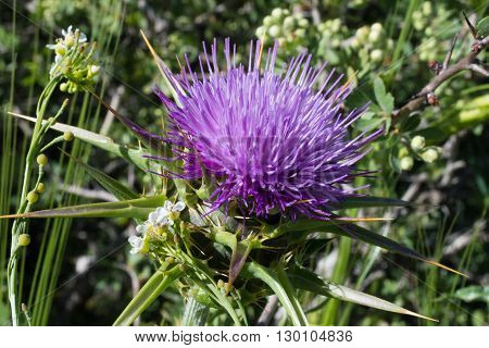 Beautiful purple thistle thorn flower blooming in an Israel forest near Tel Aviv