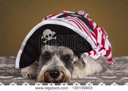 Schnauzer dog with a pirate hat and white and red suit. Yellow background.