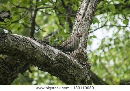 Song Thrush perched on old cherry tree background