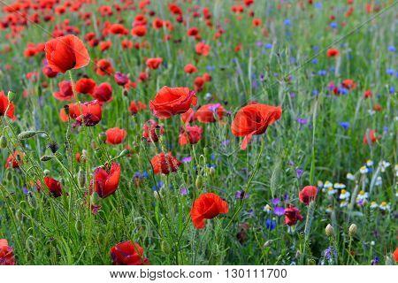 красные маки в поле с васильками и ромашками