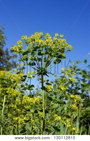 The wolf spurge (Euphorbia cyparissias) plants in the ditch.