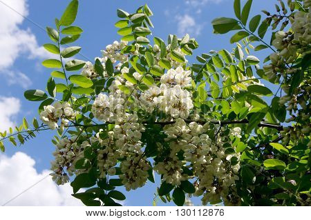 The black locust (Robinia pseudoacacia) flower edible and medicinal properties.