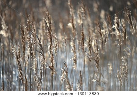 Backlit reeds in wetland low winter sun