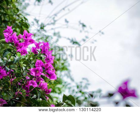 Bouganvilleas Flower Plant