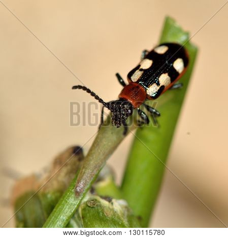 Asparagus beetle (Crioceris asparagi) on damaged stem of vegetable. Familiar garden pest of crops feeding on plants in an English vegetable patch, in the family Chrysomelidae