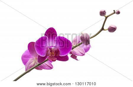 Abundant Flowering Of Magenta Phalaenopsis