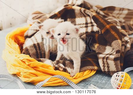 White newborn kittens in a plaid blanket. Sweet adorable tiny kittens on a serenity blue wood background play with cat toy and ribbon. Small cats. Funny kittens crawling and meowing