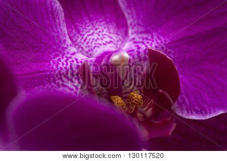 Background Of Magenta Phalaenopsis