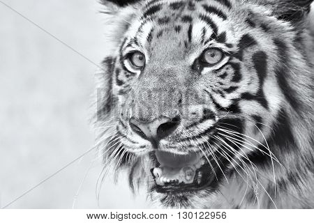 Beautiful angry face of Royal Bengal Tiger Panthera Tigris West Bengal India . It is largest cat species and endangered only found in Sundarban mangrove forest of India and Bangladesh. Black and white image.